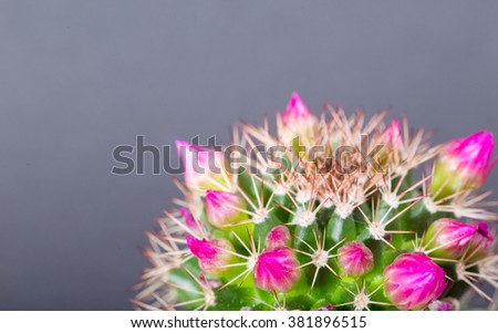 Pink buds and flower on a cactus on a gray-blue background. Close up, small depth of sharpness - stock photo
