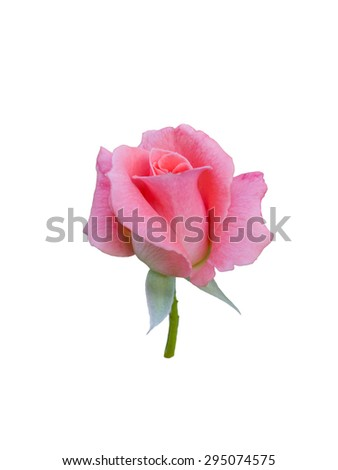 Pink button rose isolated on  white background.  - stock photo