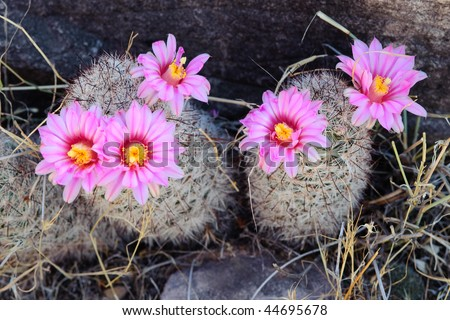 Pink cactus blooming in the Grand Canyon - stock photo