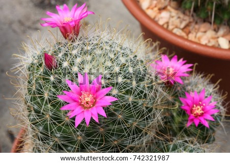 Pink cactus flower stock photo royalty free 742321987 shutterstock pink cactus flower mightylinksfo