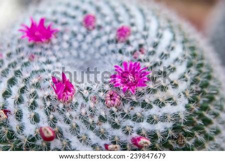 Pink cactus flowers - stock photo