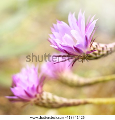 Pink cactus flowers with copy space and selective focus. Beautiful cactus flowers in the sunlight, focus on the foreground.  - stock photo