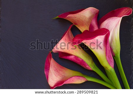 Pink calla lilly flowers on black  background - stock photo