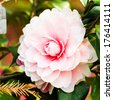 pink camellia blooming in the spring - stock photo