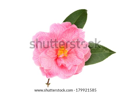 Pink camellia flower and foliage isolated against white - stock photo