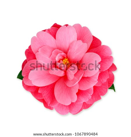 Pink camellia flower isolated on white stock photo royalty free pink camellia flower isolated on white camellia japonica mrs tingley close up mightylinksfo