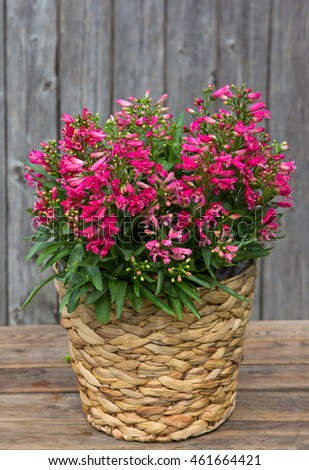 Pink Campanula or also known as Bellflowers in a Basket in front on a wooden Background.