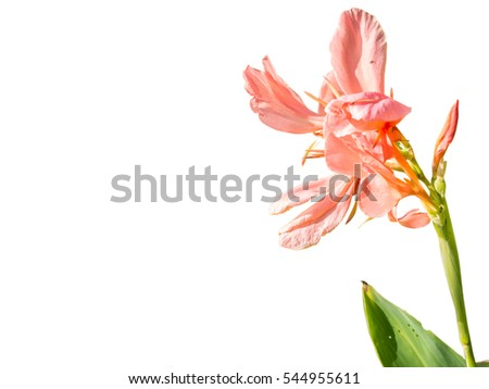 Pink Canna flowers isolated on white background