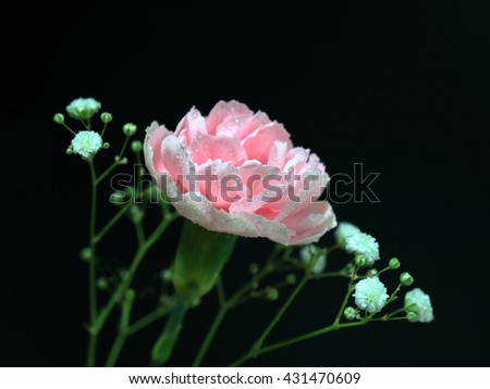 Pink  carnation and Baby's-breath - stock photo