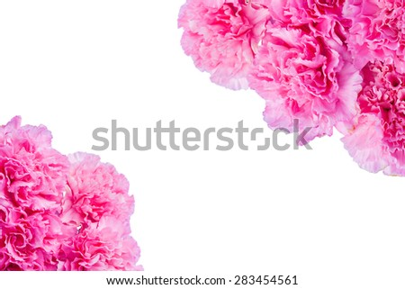 pink carnation floral on isolate background