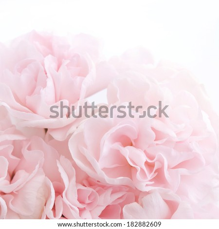pink carnation flowers - stock photo