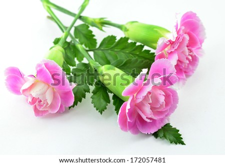 Pink Carnation Flowers on white floor - stock photo