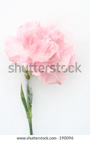 Pink carnation in snow - stock photo