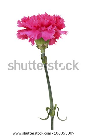pink carnation isolated on white