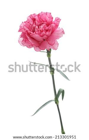 Pink carnation isolated on white background  - stock photo