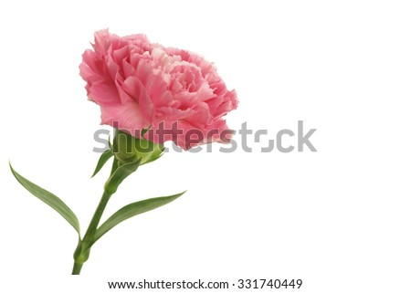 pink carnation on white background