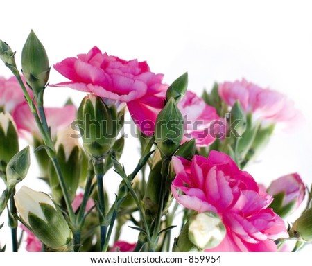 Pink carnations - stock photo