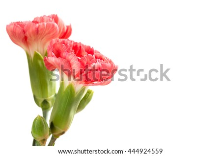 Pink carnations on a white background - stock photo