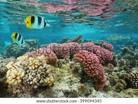 Pink cauliflower coral in shallow water with butterflyfish and a shark in background, Pacific ocean, Huahine island, French Polynesia - stock photo