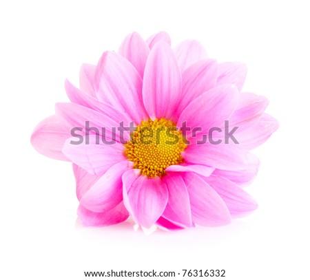 Pink Chamomile isolated on white - stock photo