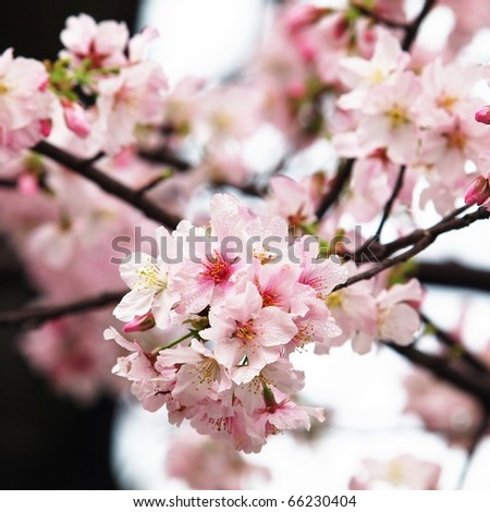 PINK CHERRY - stock photo