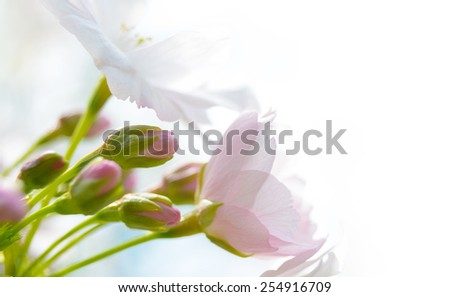 Pink Cherry Blossom Against White Background - stock photo