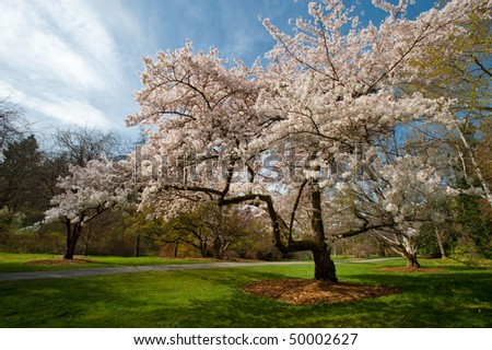 Pink cherry blossom at a park in a sunny spring afternoon