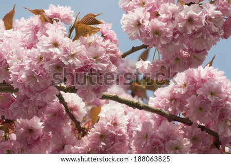 Pink Cherry blossom flowers in early spring - stock photo