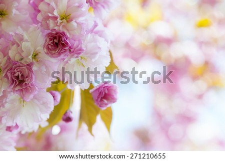 Pink cherry blossom flowers on flowering tree branch blooming in spring orchard with copy space - stock photo