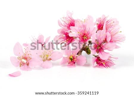 Pink Cherry blossom flowers, sakura isolated - stock photo