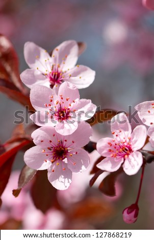 Pink cherry blossom in full bloom - stock photo