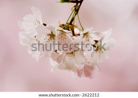 Pink Cherry Blossom Macro - stock photo