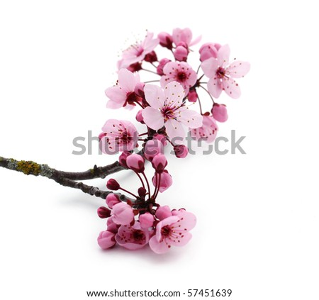 Pink cherry blossom on white - stock photo