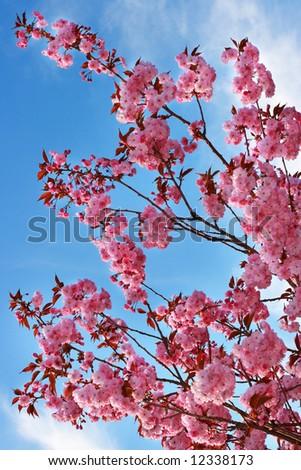 Pink cherry blossom over blue sky - stock photo