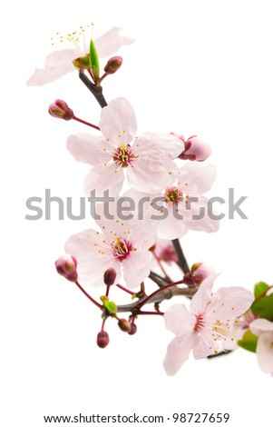 Pink cherry blossom (sakura flowers), isolated on white, shallow dof - stock photo