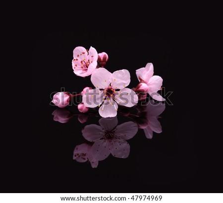 Pink cherry blossom sakura on black - stock photo