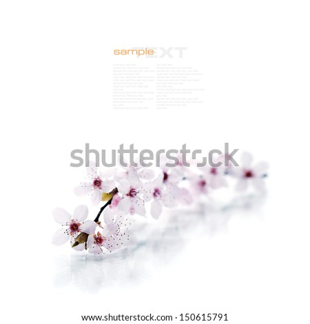 Pink cherry blossom sakura on white (with easy removable sample text) - stock photo
