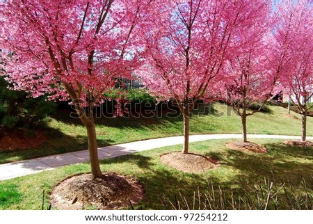 Pink Cherry Blossom Trees in Germantown, MD USA