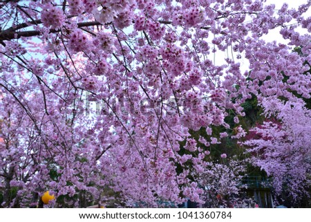 Pink Cherry Blossom Trees In Spring Like A Soft Full Version Of The Wallpaper