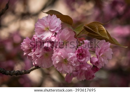 Pink Cherry Blossom Twig - Closeup - stock photo