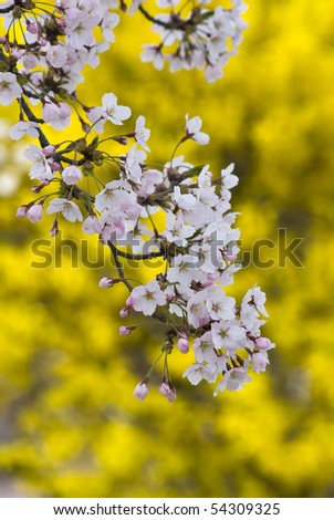 Pink Cherry Blossom With Yellow Background In Spring Garden