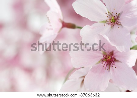 Pink Cherry Blossoms Closeup - stock photo