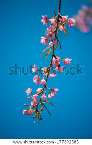 Pink cherry blossoms grown in Thailand. - stock photo
