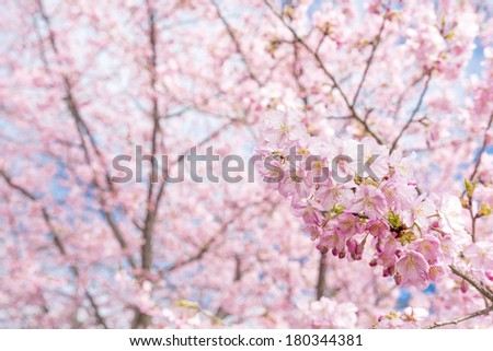 Pink cherry blossoms in front of light flower blur in early spring