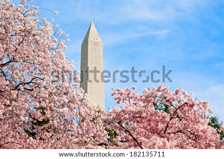 Pink cherry blossoms on bloom in Washington DC under the Washington Monument in spring - stock photo