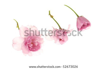 Pink cherry blossoms on white background - stock photo
