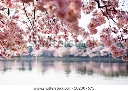 Pink cherry blossoms reflecting in the Tidal Basin in Washington DC - stock photo