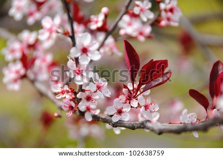 Pink cherry blossoms tree. - stock photo