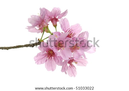 pink cherry branch, close-up - stock photo