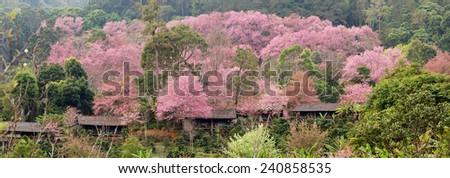 Pink cherry Chiangmai - stock photo
